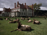 Elks Recline on the Grounds of Mammoth Hot Springs, Yellowstone Fotografisk tryk af Raymond Gehman