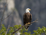 American Bald Eagle, Haliaeetus Leucocephalus, Perched on a Limb 写真プリント : ロイ・トフト