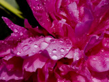 Close View of Pink Peony Covered with Water Drops Lámina fotográfica por Gipstein, Todd
