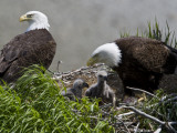 American Bald Eagles, Haliaeetus Leucocephalus, in Nest with Young Fotografisk trykk av Roy Toft
