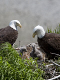 American Bald Eagles, Haliaeetus Leucocephalus, in Nest with Young Stampa fotografica di Roy Toft