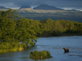 A Brown Bear Wading in a River in the Kronotsky Nature Reserve Fotografisk trykk av Michael Melford