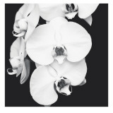 Orchid Portrait I Prints by Jeff Maihara