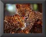 Leoparder Plakater