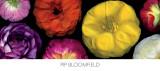 Ranunculus Panorama Affiche par Pip Bloomfield