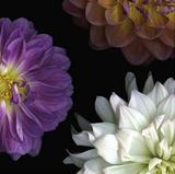 Purple Dahlia II Poster par Pip Bloomfield