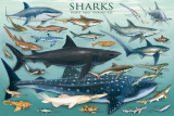 Sharks Print