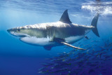 Grand requin blanc Posters