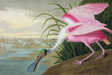 Roseate Spoonbill, Platalea Leucorodia, from 'The Birds of America', 1836 Giclee Print by John James Audubon