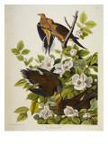 Carolina Turtledove. Mourning Dove, Giclée-tryk af John James Audubon