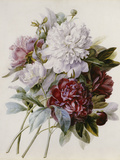 A Bouquet of Red, Pink and White Peonies Giclee-trykk av Pierre-Joseph Redouté