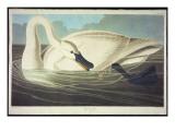 Trumpeter Swan Giclée-tryk af John James Audubon