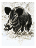 Wild Boar Lámina giclée por  English School