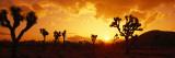Sunset, Joshua Tree Park, California, USA Seinätarra