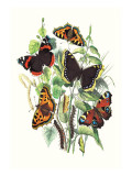 Butterflies: V. Atalanta, V. Antiopa Wallstickers af William Forsell Kirby