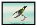 Hummingbird: Female Trochilus Cornutus Veggoverføringsbilde av Sir William Jardine
