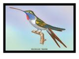 Hummingbird: Trochilus Vesper Veggoverføringsbilde av Sir William Jardine