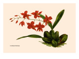 Orchid: Cochlioda Notzliana Wall Decal by William Forsell Kirby