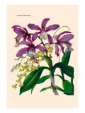 Orchid: Cattleya Harrisoniae Wall Decal by William Forsell Kirby