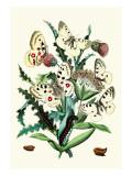Butterflies: P. Apollo, P. Phoebus Decalcomania da muro di William Forsell Kirby