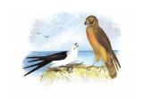 Swallow-Tailed Kite and Marsh Hawk Veggoverføringsbilde av Theodore Jasper