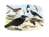Caracara Eagle, Crow, and Kingfisher Veggoverføringsbilde av Theodore Jasper