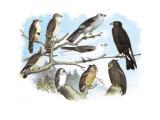 Femerol and Richardson's Falcons, Isabella Hawk, Acadian Owl Veggoverføringsbilde av Theodore Jasper