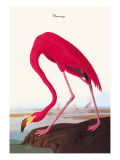 Flamingo Wallstickers af John James Audubon
