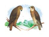 Hen Hawk and Swainson's Hawk Veggoverføringsbilde av Theodore Jasper