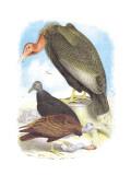 California Condor, Turkey Buzzard, and Carrion Crow Veggoverføringsbilde av Theodore Jasper
