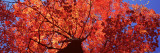 Low Angle View of a Maple Tree, Acadia National Park, Mount Desert Island, Maine, USA Muursticker