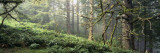 Sitka Spruce Trees in a Forest, Ecola State Park, Oregon, USA Wallstickers af Panoramic Images,