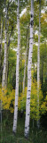 Rocky Mountain Aspen Forest Wallstickers af Panoramic Images,