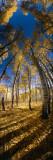 Aspen Trees in the Forest, Alpine Loop, Colorado, USA Decalcomania da muro di Panoramic Images,