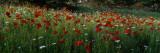 View of Wildflowers, Ncdot Wildflower Program, Swain County, North Carolina, USA Wallstickers