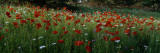 View of Wildflowers, Ncdot Wildflower Program, Swain County, North Carolina, USA Seinätarra