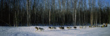 18 Huskies Begin the Long Haul of 1049 Miles to Nome, John Barron in Iditarod Race 1991, Alaska, US Wallstickers