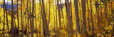 Aspen Trees in Autumn, Colorado, USA Wallstickers