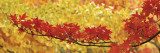 Red and Yellow Autumnal Leaves Muursticker