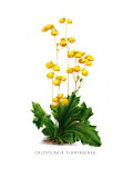 Calceolaria Plantaginea Wall Decal by H.g. Moon