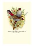 Australian Fire-Tailed Finch Wallstickers af Arthur G. Butler