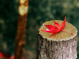 Autumn Leaf on Trunk in Tenju-An Temple Garden Photographic Print by Frank Carter