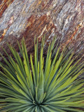 Yucca and Stone Photographic Print by Douglas Steakley