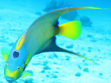 Queen Angelfish (Holacanthus Ciliaris), Paradise Reef Photographic Print by Dan Herrick