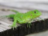 Green Iguana on Breakfast Table at Bucuti Beach Resort on Eagle Beach Fotografisk tryk af Holger Leue