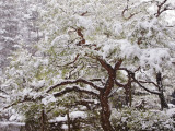 Snow Covered Tree in Garden of Heian Shrine During Snowfall Photographic Print by Frank Carter