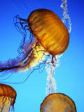 Jellyfish in Monterey Bay Aquarium Fotografisk trykk av Douglas Steakley