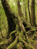 Mossy Roots of Myrtle Beech Tree, Mt Dundas Reproduction photographique par Grant Dixon