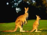 Kangaroo and Joey Reproduction photographique par John Banagan