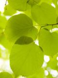 Leaves of Linden Tree, Botanic Gardens Fotografisk tryk af Greg Elms
